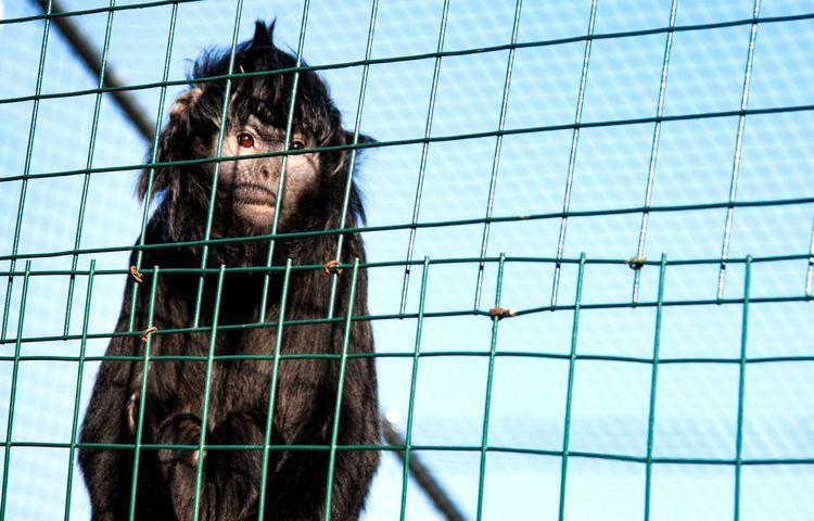 Close-up Day One Animal Outdoors No People Mammal Cage Prison Zoo Captive Animals Captive Wildlife Sad Animals Sad Sad Face Monkey Sad Monkey Captivity