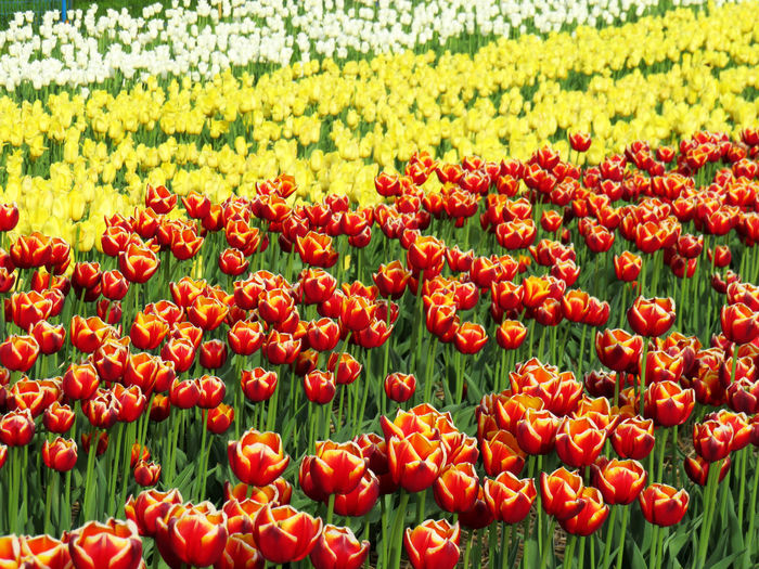 Field of multi color tulips in spring Abundance Beauty In Nature Close-up Day Field Flower Flower Head Flowerbed Flowering Plant Fragility Freshness Green Color Growth Inflorescence Land Nature No People Outdoors Plant Red Tulip Vulnerability