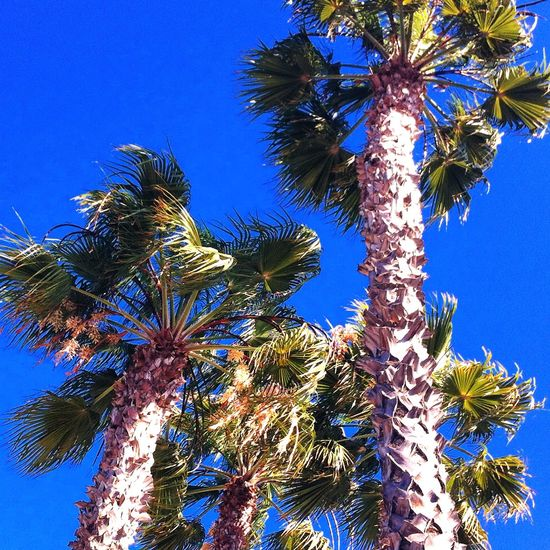 Enjoying Life Palm Trees Sandiego_ca Sandiegophotos OpenEdit California Cali Sunny Day