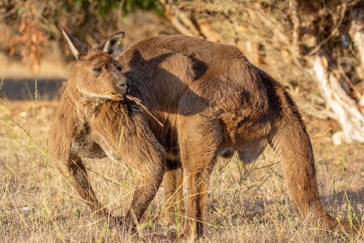 Kangaroo Sunlight Animal Themes Close-up Australian Culture
