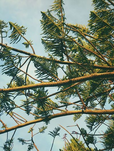 Nature Growth Tree Low Angle View Day Beauty In Nature Leaf Sky Plant Outdoors Pine Tree No People Forest Branch Blue Australia Beautiful City Scenics Beauty In Nature Tree Nature Tranquil Scene Close-up Dusk