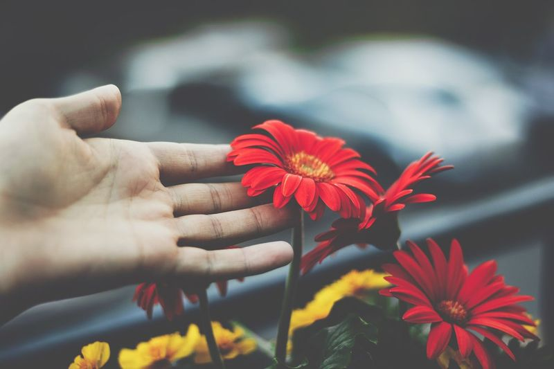 Cropped hand of person touching gerbera daisy