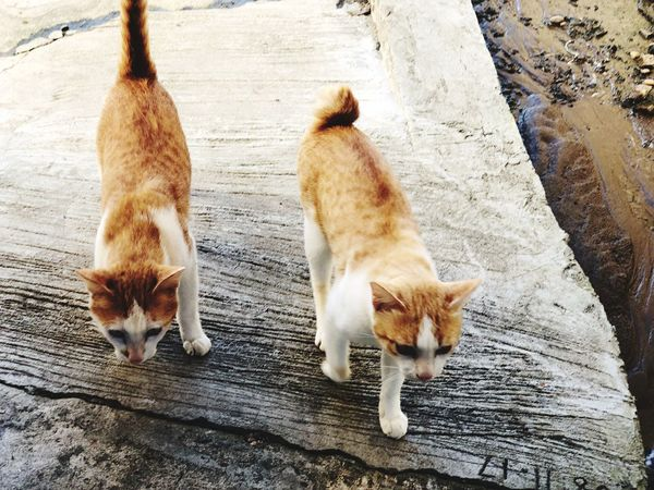 Fur Cats White Orange Following Two Cats On The Floor Pathway Walking Stray Cat Mammal Domestic Animal Themes Pets Group Of Animals Animal Domestic Animals Vertebrate Two Animals Feline Cat Domestic Cat Day High Angle View No People Wood - Material Outdoors Nature Ginger Cat Whisker
