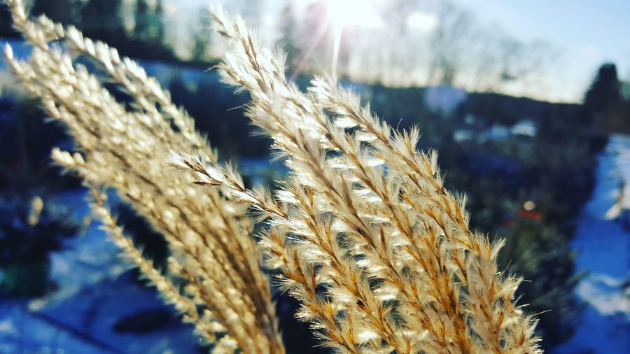 Beauty In Nature Cereal Plant Close To Nature Close Up Close Up Flora Close Up Flower Close Up Nature Close Up Photography Close-up Closeup Closeupshot Cold Temperature Day Ear Of Wheat Growth Nature No People Outdoors Plants In Winter Wheat Wheat Wheat Close-up Wheat Ears Winter Winter Plants Perspectives On Nature