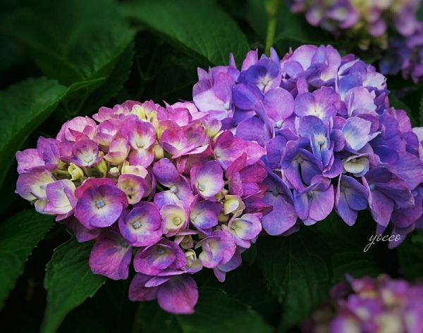 Flower Purple Plant Nature Beauty In Nature Petal Close-up Hydrangea Pink Color Outdoors Flower Head Freshness Flower Photography Flower_Collection Beautiful Japan EyeEm Nature Lover Nature_collection EyeEm GalleryEyeam_bestshot Growth Fragility Eyeamphoto
