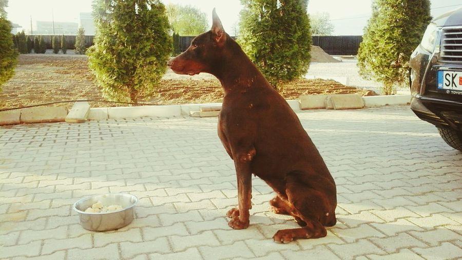 Small And Swift My love Aron Doberman I Love My Dog Doberman