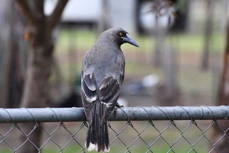 Grey Currawong Bird Vertebrate Animal Themes Animal Animal Wildlife Fence Perching Metal No People Day Security Safety Protection Chainlink Fence Nature Focus On Foreground Barrier Boundary One Animal Animals In The Wild