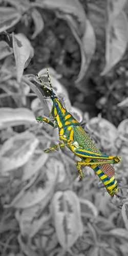 Colorful Grasshopper in Black n white background.. Grasshopper Green Colourful Colourful Nature Nature Divine #EyeEmNewHere #EyeEm #EyeEmSelects #naturephotography #EyeEm Nature Lover #Garden #insect #beautiful #photography #closeup Leafs Blackandwhite Backgrounds EyeEm Best Shots EyeEm Gallery EyeEm Best Edits Eyeemphotography EyeEm Best Shots - Nature Reptile Animal Themes Close-up Animal Scale Animal Markings Bearded Dragon A New Beginning EyeEmNewHere This Is Strength