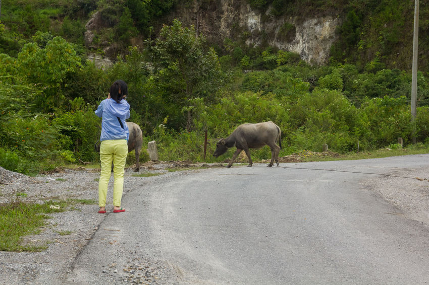 woman standing on road looking at a buffalo Buffalo Field Freedom Lake Toba Medan Road Toba Travel Woman Adult Animal Themes Day Domestic Animals Forest Full Length Girl Hand Raised Hand Reaching Journey Lake Lake View Mammal Meadow Nature One Animal One Person Outdoors People Real People Rear View Retro Styled River Road Standing Summer Summer ☀ Travel Destinations Traveler Tree Vintage
