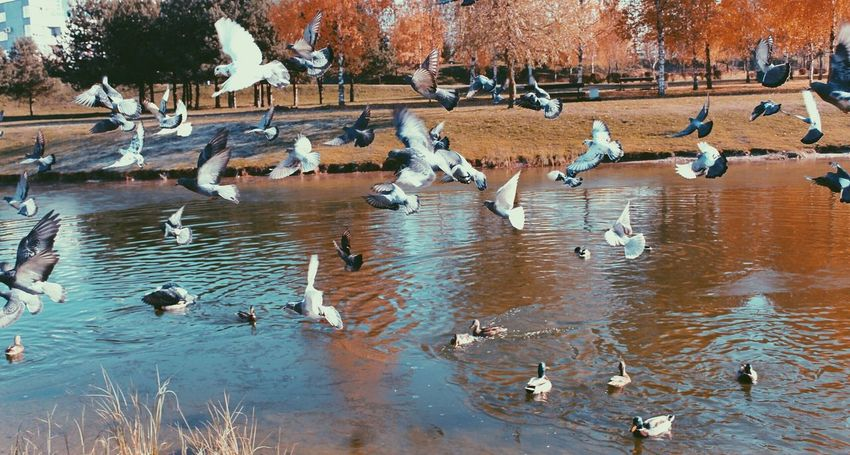 Large Group Of Animals Animals In The Wild Animal Themes Bird Animal Wildlife Nature Water Flock Of Birds No People Beauty In Nature Lake Geese Canada Goose Day Outdoors
