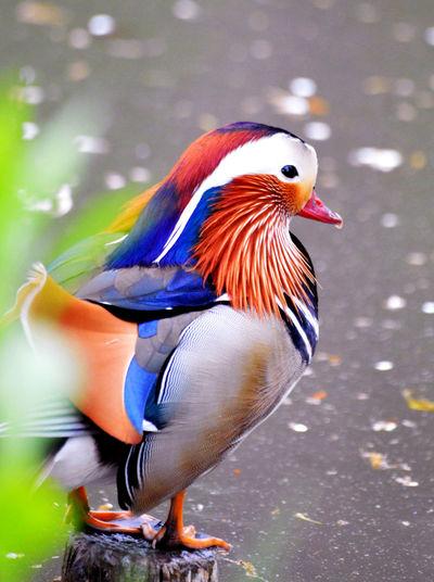 Aix Galericulata Ave Duck Enten Großer Garten Mandarin Duck Mandarinente Pato Pato Mandarín Vogel オシドリ 鴛鴦鍋