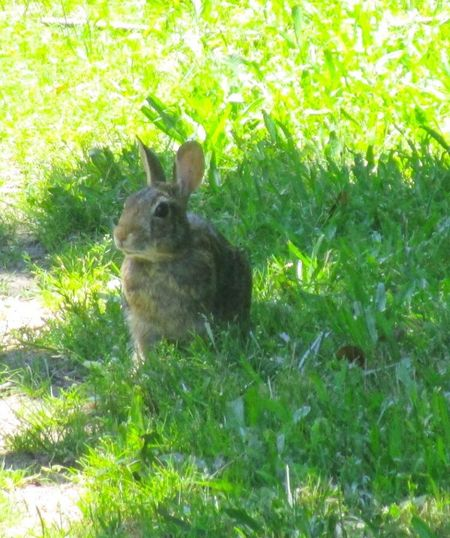 One Animal Animal Themes Animals In The Wild Outdoors Bunny Rabbit Green Color grass No People
