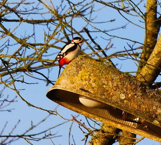 Wood Pecker