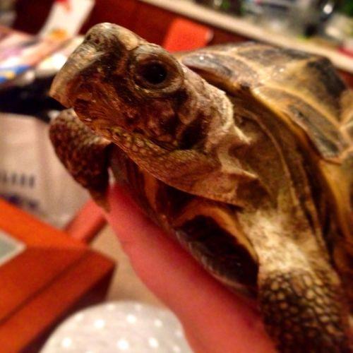 черепаха сухопутнаячерепаха дома Turtle