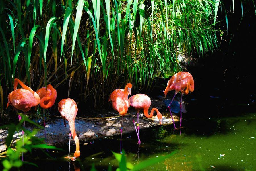 Pink Flamingos Beautiful Flamingos EyeEm Nature Lover Eyemphotography Eye4photography  EyeEm Birds EyeEm Gallery Check This Out United States Darryn Doyle Enjoying Life Taking Photos Beautiful View Beautiful Nature EyeEmBirds Zoo Animals  Pink Birds Standing Tall