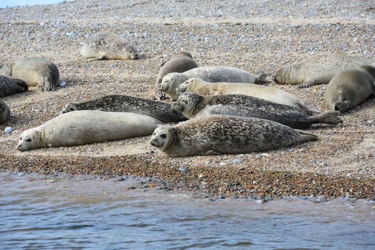 Seals relaxing at beach
