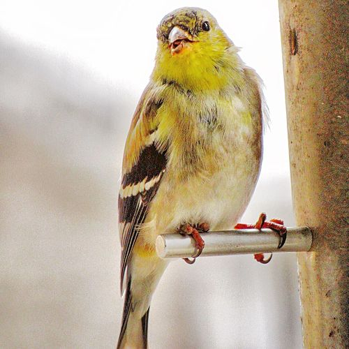 Finch Finches Bird Birds Bird Photography Animal Themes Perching One Animal Animal Wildlife Animals In The Wild No People Outdoors Day Canon Canonphotography Kent Ohio Beauty In Nature Nature Animals In The Wild