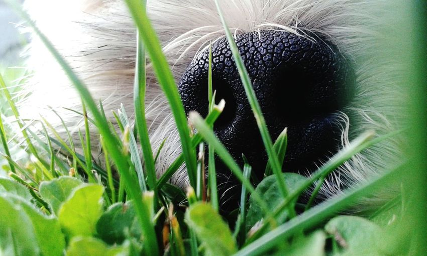 Dog Nose Grass
