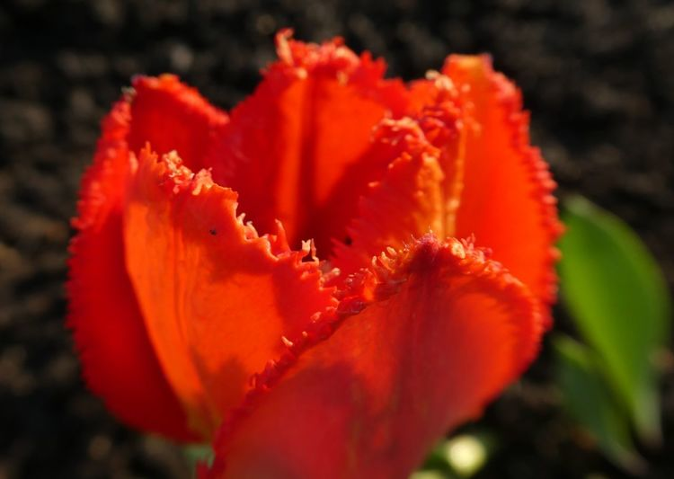 Flower Flowering Plant Plant Close-up Beauty In Nature Freshness Fragility Vulnerability  Petal Flower Head Inflorescence Growth Red Orange Color Nature Pollen No People Selective Focus Focus On Foreground Orange Tulip