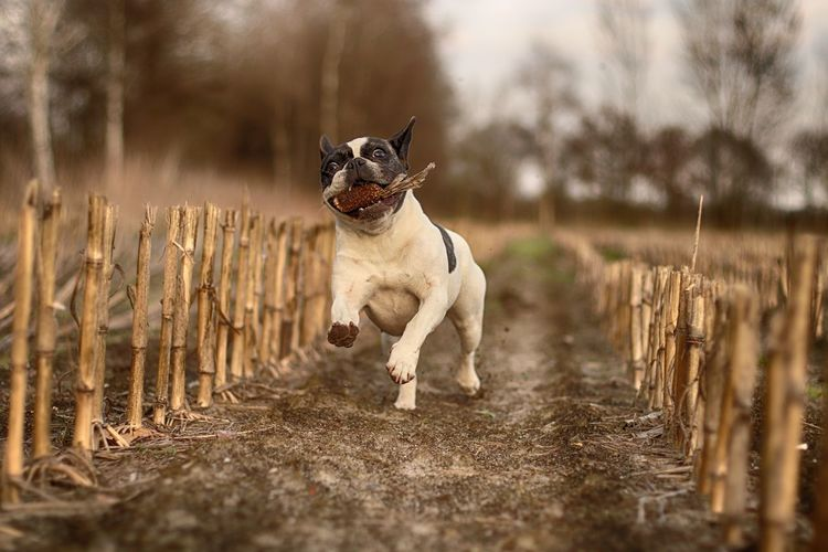 Action Shot  Apportierender Hund Cornfield Dog Dog In Action Dog Photography Dog With Corn Erntedank Französische Bulldogge  Französische Bulldogge Hat Spaß French Bulldog French Bulldog Having Fun Frenchbulldog Frenchie Hund Apportiert Maiskolben Hund In Aktion Hundefotografie Maisfeld Outdoors Pets Playing Dog Rennende Französische Bulldogge Spielender Hund Thanksgiving