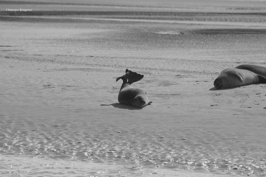 Baie de Somme, Plage de Berck, France. Baie De Somme  Beautiful Follow France Nature Beach Berck Berck Plage Seal Animal