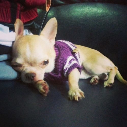 Petstagram Instadog Chihuahua Applehead dogoftheday petoftheday