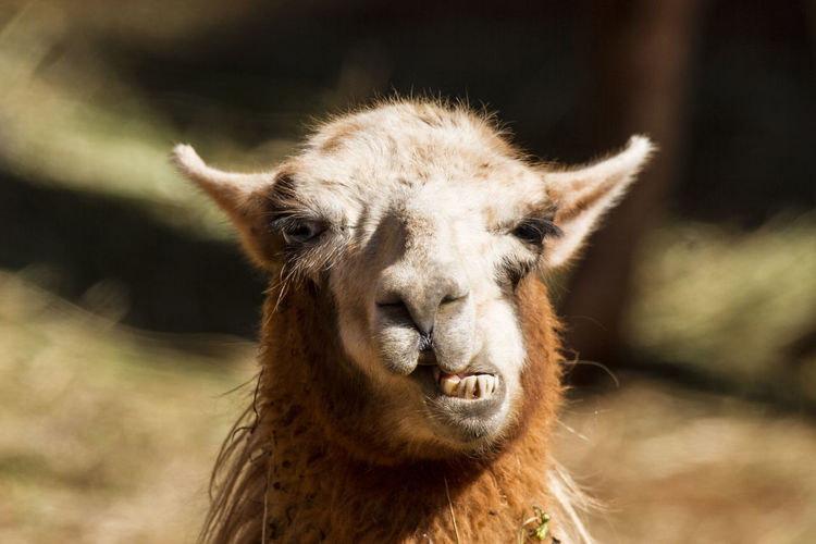 Llama Glama Mammal Focus On Foreground Nature Hilarious Animal Themes Fun Animals Portrait Livestock Domestic Animals Animals In The Wild Naturaleza Naturephotography Outdoors Animal Wildlife One Animal Meme Llama Be. Ready.