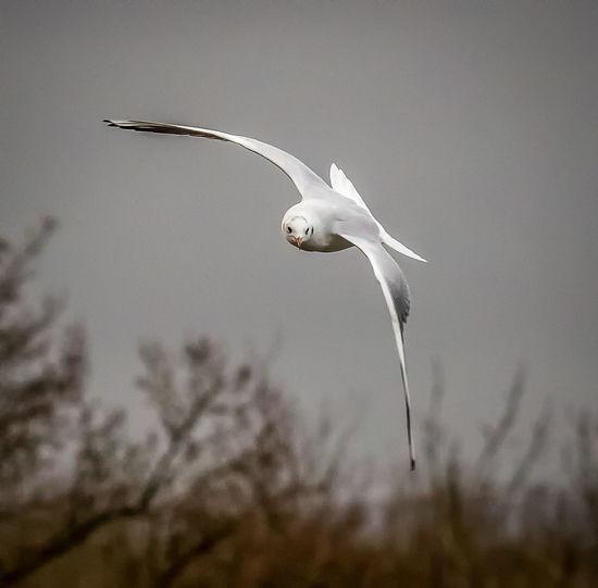 Gull in motion. Bird Gull Inflight Midair Nature Sky Swoop Wings