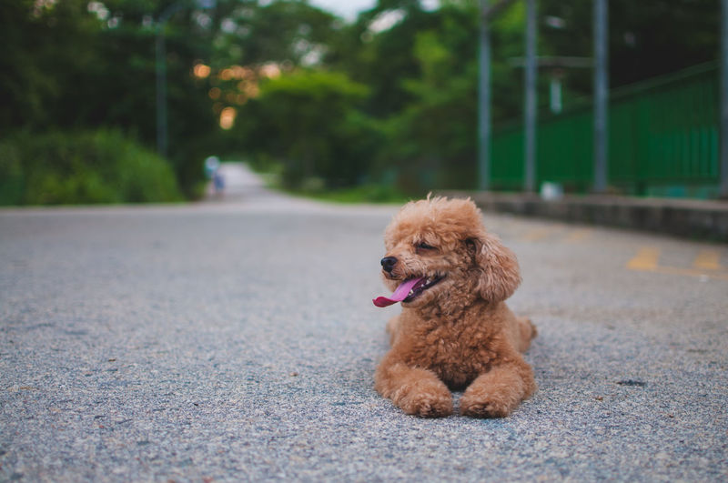 Animal Hair Animal Head  Canine Close-up Cute Day Dog Domestic Animals Focus On Foreground Mammal No People Outdoors Pets Portrait Selective Focus Singapore