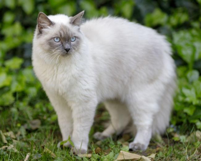 Portrait of white cat on field