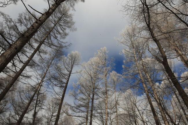浅間山麓で見た小諸市の霧氷 Forest Scenics - Nature Winter WoodLand Nature No People Sky Tree Winter Trees White Tree Asamayama Mountain