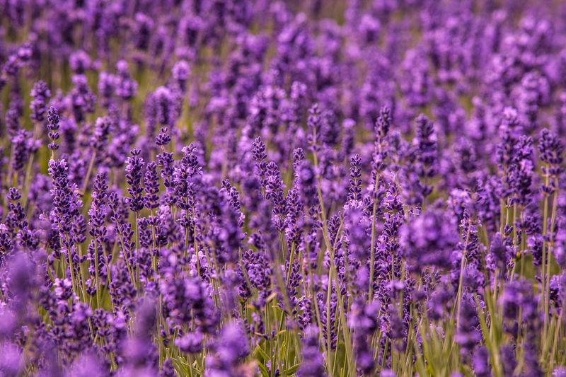 Close-up of purple plants