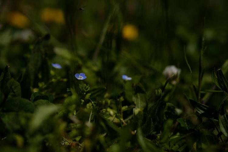 オオイヌフグリ Beauty In Nature Flower Flowers Fragility Freshness Fujifilm FUJIFILM X-T2 Fujifilm_xseries Grass Growth Japan Japan Photography Nature No People Outdoors Plant Selective Focus X-t2 オオイヌフグリ 市川