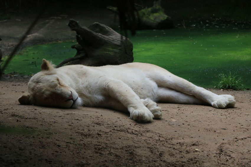 France Lion Nature Zoo De La Flèche Animal Animal Themes Beauty In Nature Day Eyes Closed  Feline Field Land Nature No People One Animal Pets Relaxation Sleeping