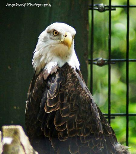 Eagle American Eagle Nature_collection EyeEm Birds EyeEm Nature Lover