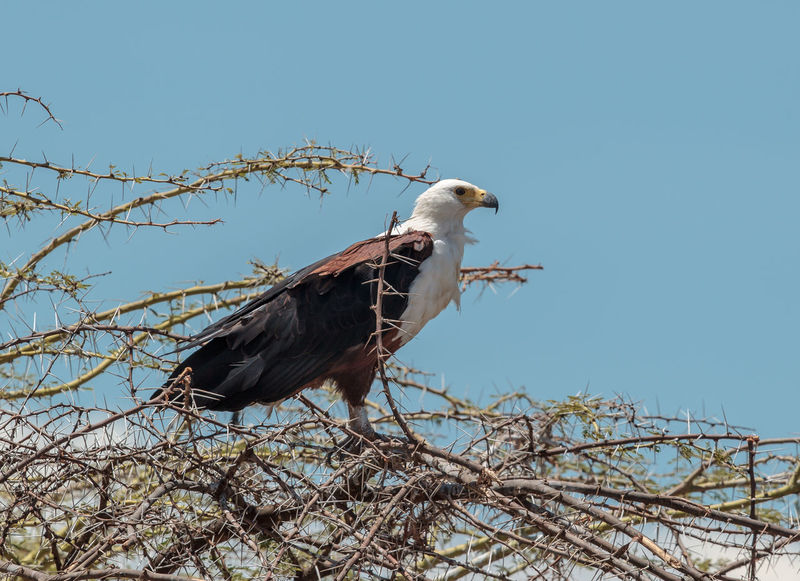 An African Fish Eagle captured on the edge of Lake Manyara, Tanzania. The African fish eagle, or to distinguish it from the true fish eagles, the African sea eagle, is a large species of eagle found throughout sub-Saharan Africa wherever large bodies of open water with an abundant food supply occur. Africa African Fish Eagle African Sea Eagle Animal Animal Themes Animal Wildlife Animals Animals In The Wild Beauty Beauty In Nature Bird Bird Of Prey Bird Photography Birds Haliaeetus Vocifer Lake Manyara Large Eagle Nature Photography Perching Raptor Tanzania Wild Wildlife Wildlife & Nature Wildlife Photography