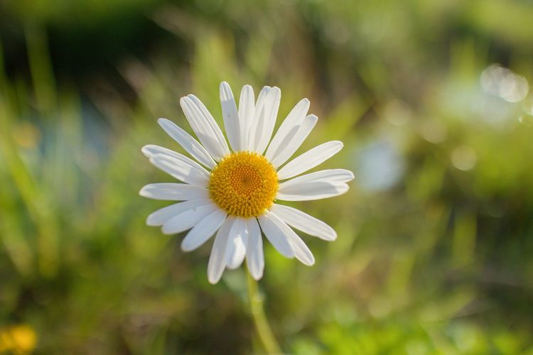 Grass Herb Leucanthemum Nature Ox-Eye Daisy Oxeye Daisy Plant Pure Single Flower Beauty Blooming Close-up Colors Of Dawn Disc Flower Flora Flower Flower At Sunset Flower Head Fresh Freshness No People Petals Ray Flower White Flower Yellow First Eyeem Photo
