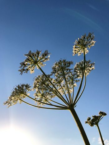 Land of the Giants. Growth Flower Low Angle View Nature Beauty In Nature No People Fragility Clear Sky Blossom Day Branch Blue Sky Flower Head Freshness Outdoors Close-up Cow Parsley