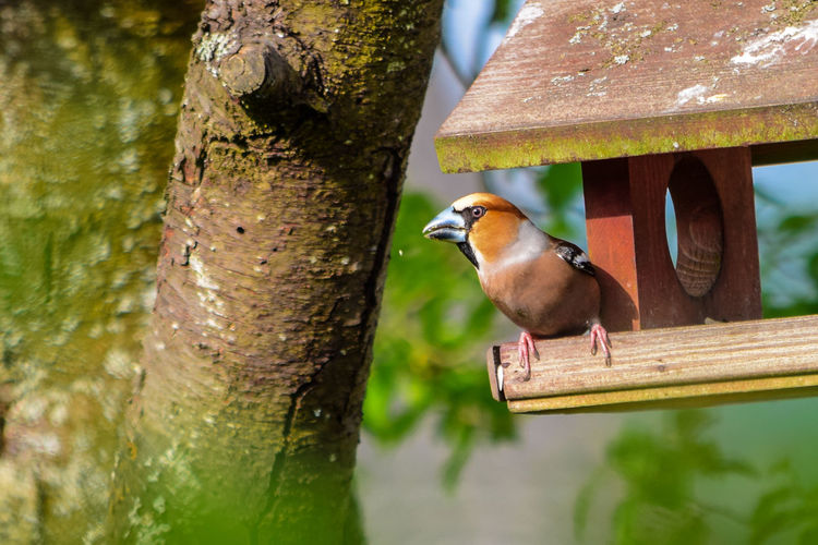 Hawfinch on birdhouse