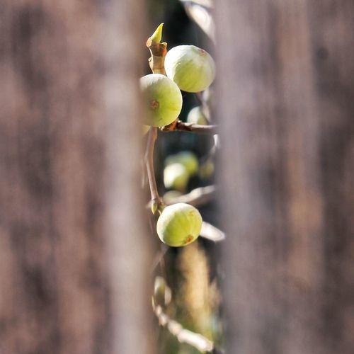 Wood Peaking Peaking Through Peaking Out RespectNature Matera Cultura Fig Fico Delicious Nature Food Fruit Basilicata Basilicata, Italy  Olive Tree Vine - Plant Easter Olive Grape Plant Plant Life