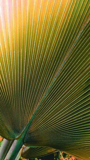 Broad Leaves Broad Leaf Leaf Leaves Leaves Color Leaves Photography Creative Color Creative Color On Leaves Green Yellow Leafs Green Yellow Leaves Green Yellow Tone Beauty Of Leaves Beautiful Leaves