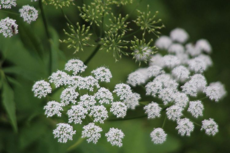 Close-up of cow parsnip blooming outdoors