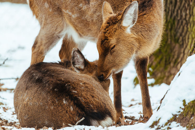 A couple of deer in love, deer kissing his companion Animal Mammal Animal Themes Group Of Animals Animal Wildlife Two Animals Animals In The Wild Vertebrate Snow Brown Animal Family Herbivorous Nature Nature Animal Love Deer Winter Deer Family Animals In The Wild