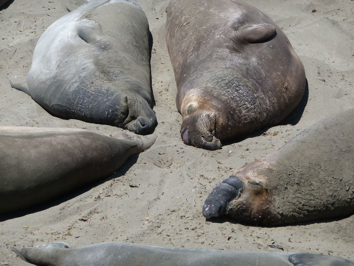 California Sea Lions Animals In The Wild Aquatic Mammal Close-up Day Mammal Nature Sand Togetherness