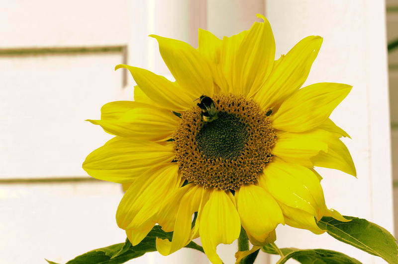 Bumblebee party meal, the sunflower. Bumblebee Sunflower Animal Themes Beauty In Nature Blooming Close-up Day Flower Flower Head Fragility Freshness Growth Nature No People One Animal Outdoors Petal Plant Pollen Yellow Paint The Town Yellow The Week On EyeEm EyeEm Gallery