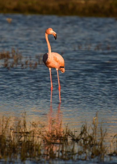 This guy found a way to get himself back in the wild. Animal Animal Themes Animal Wildlife Animals In The Wild Beauty In Nature Bird Flamingo Lake Nature One Animal Outdoors Shallow Water