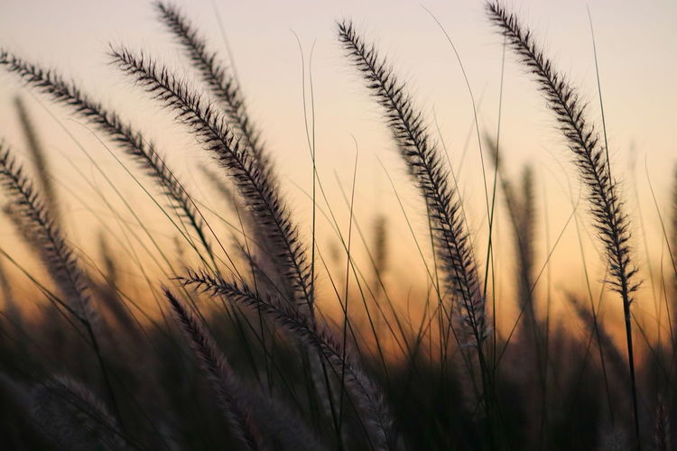 Close-up of stalks in field against the sky
