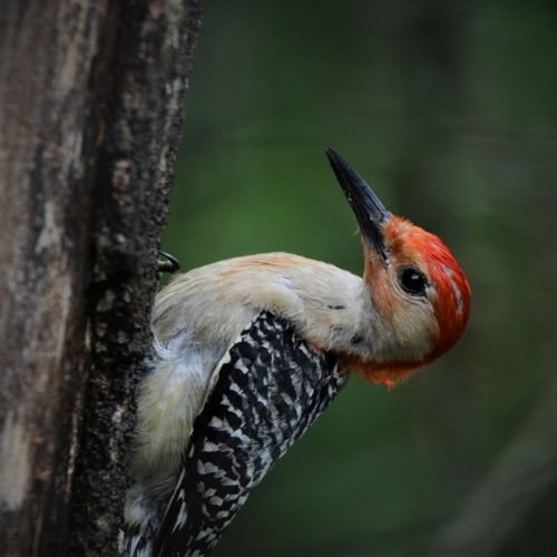 Close-up of woodpecker on tree