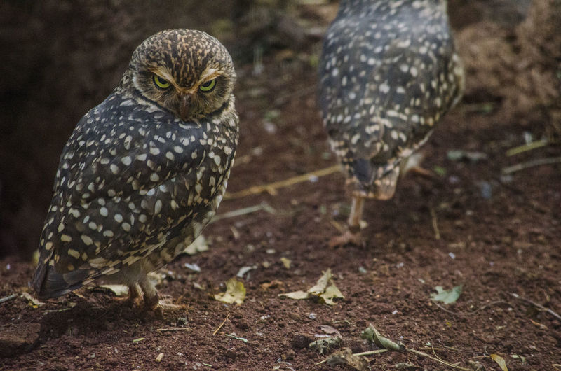 Animal Animal Themes Animal Wildlife Animals In The Wild Bird Day Focus On Foreground Front View Looking At Camera Nature One Animal Outdoors Owl Vertebrate