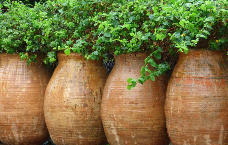 Beauty In Nature Clay Material Close-up Day Food Freshness Green Color Growth Ivy Large Clay Jars Nature No People Outdoors Plant